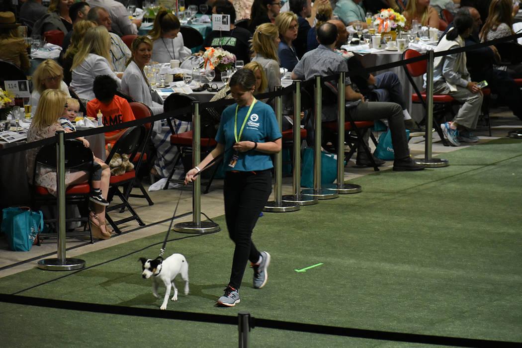 Decenas de perros del refugio de The Animal Foundation desfilaron en la grama de Thomas & Mack Center durante el evento anual 'Best in Show'. 22 de abril de 2018 en Thomas & Mack Center. Foto ...