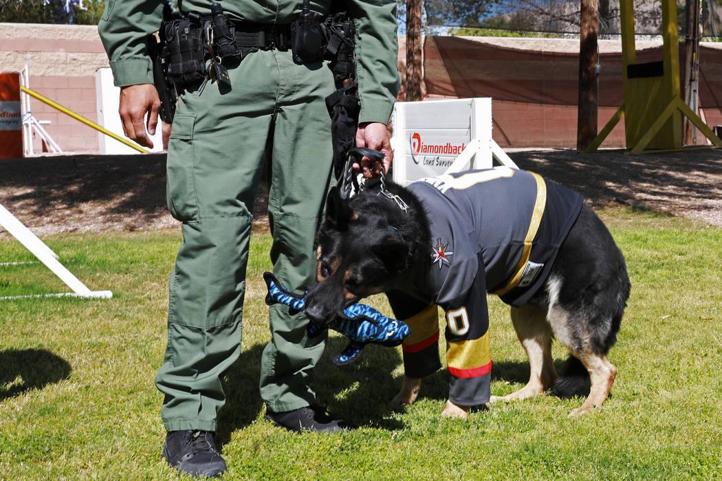 """""""Knight"""", el nuevo oficial de K9 del Departamento de Policía Metropolitana de Las Vegas, mastica un tiburón de juguete en el LVMPD en Las Vegas el jueves 26 de abril de 2018. Revista-Diario Andr ..."""