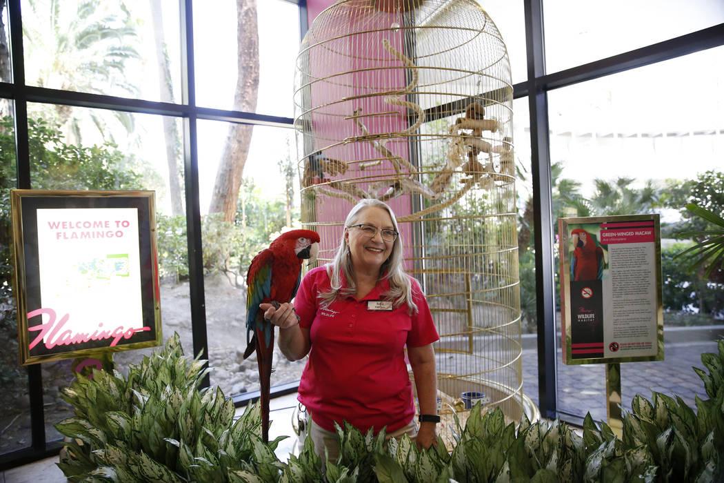 La curadora de vida silvestre: Robin Matos sostiene un guacamayo de alas verdes llamado Captain en el hotel-casino Flamingo en Las Vegas, el jueves 19 de abril de 2018. Erik Verduzco Las Vegas Rev ...