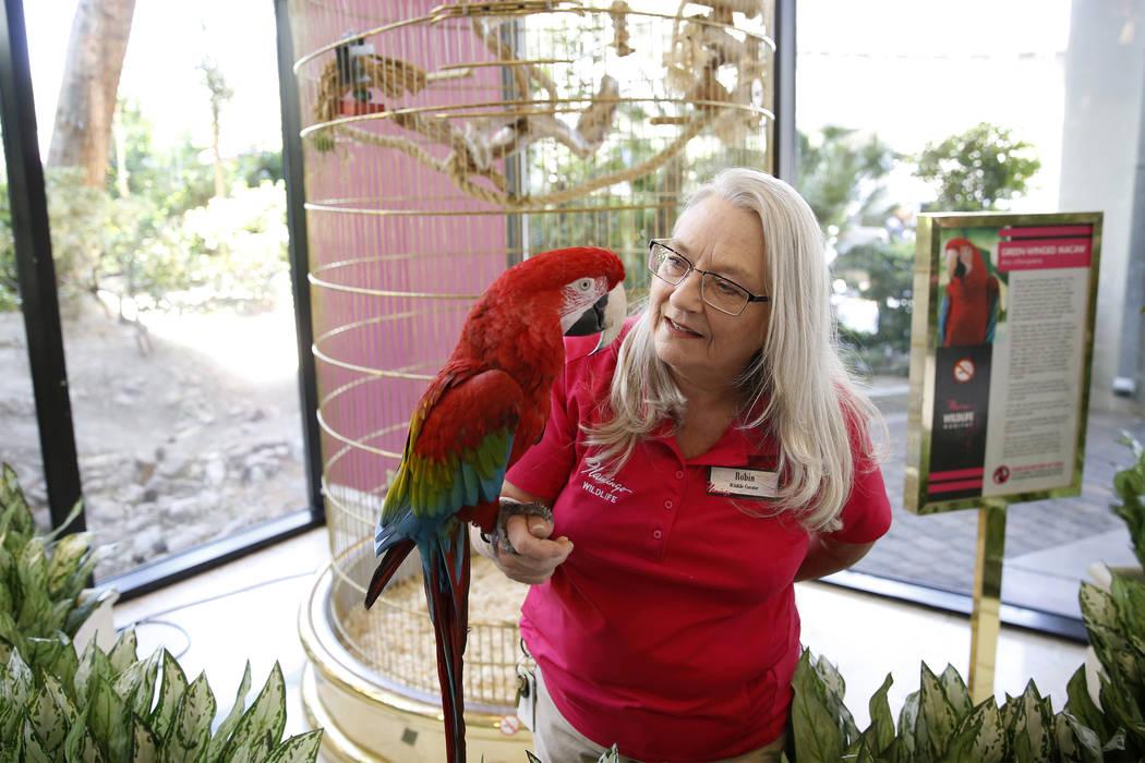 La curadora de vida silvestre: Robin Matos sostiene a un guacamayo de alas verdes llamado Captain en el hotel-casino Flamingo en Las Vegas, el jueves 19 de abril de 2018. Erik Verduzco Las Vegas R ...