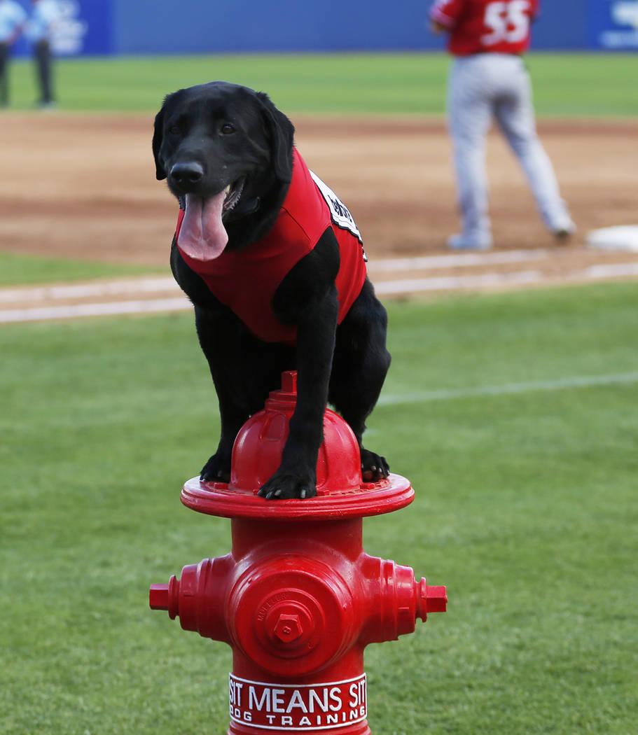 El perro de los bates de Las Vegas 51s, Finn, espera un comando durante un juego contra los Isótopos de Albuquerque en el Cashman Field de Las Vegas el domingo 13 de mayo de 2018. Andrea Cornejo ...
