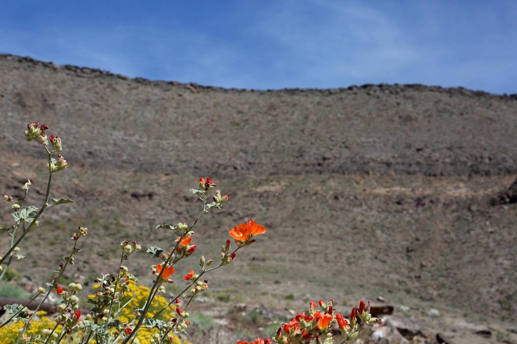 Las flores silvestres florecen en el borde oeste de la montaña Yucca el 3 de mayo de 2017. Michael Quine / Las Vegas Review-Journal @ Vegas88s