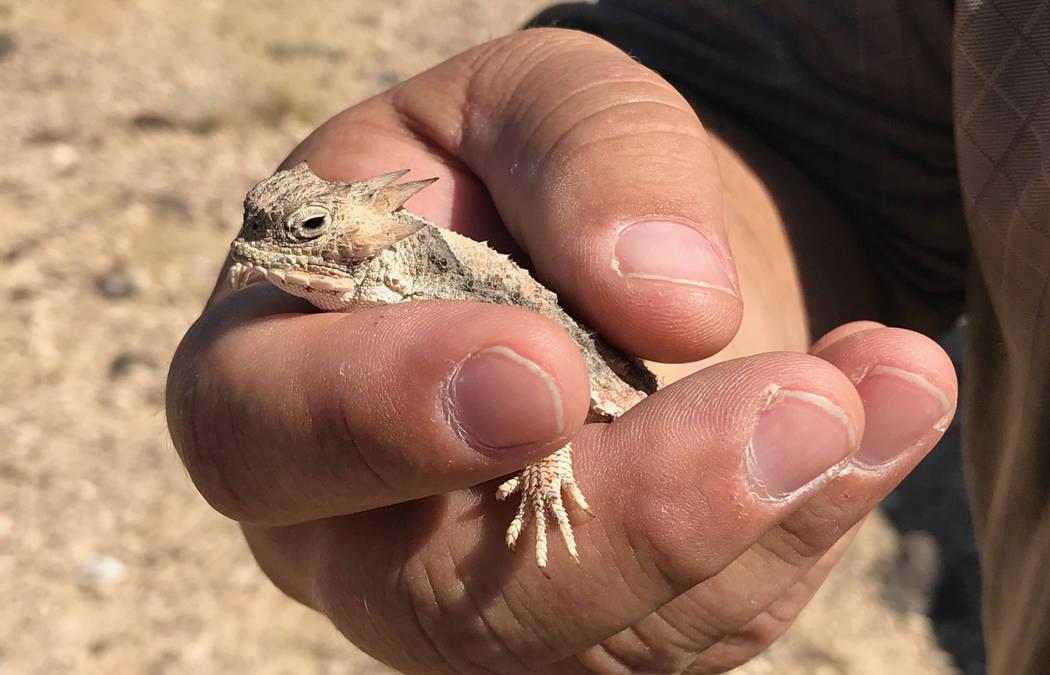 Jim Stanger, presidente de Friends of Sloan Canyon, sostiene un lagarto cornudo en el desierto al sur de Henderson el martes. El Condado de Clark está presionando para que se subasten miles de ac ...