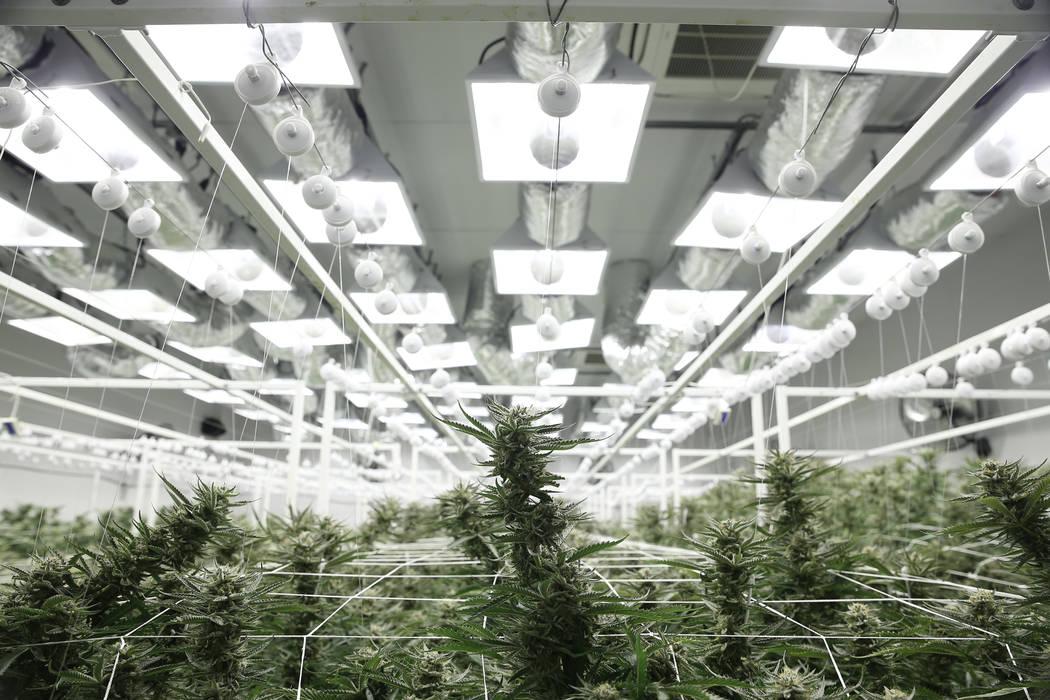 Plantas de marihuana en la sala de cultivo de la planta de Redwood Cultivation en Las Vegas, sábado 2 de junio de 2018. Erik Verduzco Las Vegas Review-Journal @Erik_Verduzco