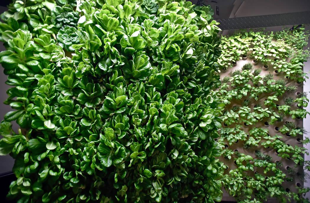 Una pared de plantas maduras de lechuga de mantequilla verde y otras hierbas se ven en un panel aeropónico vertical en las oficinas de Indoor Farms of America el miércoles 6 de junio de 2018 en ...