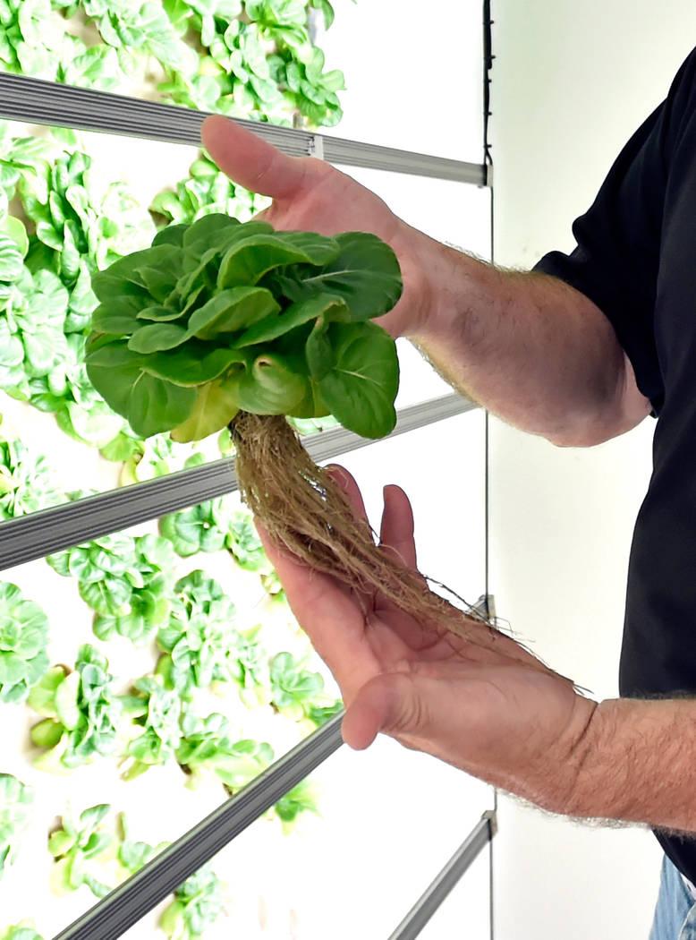 El sistema de raíces de una lechuga de mantequilla verde se muestra en las oficinas de Indoor Farms of America el miércoles 6 de junio de 2018 en Las Vegas. David Becker / Las Vegas Review-Journ ...