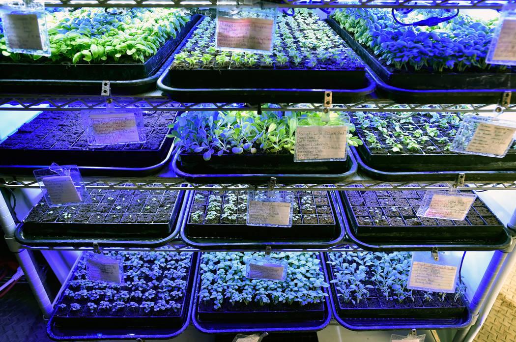 En el jardín de demostración de Indoor Farms of America el miércoles 6 de junio de 2018, en Las Vegas, se ven bandejas de plántulas en diferentes etapas de crecimiento. David Becker / Las Vega ...