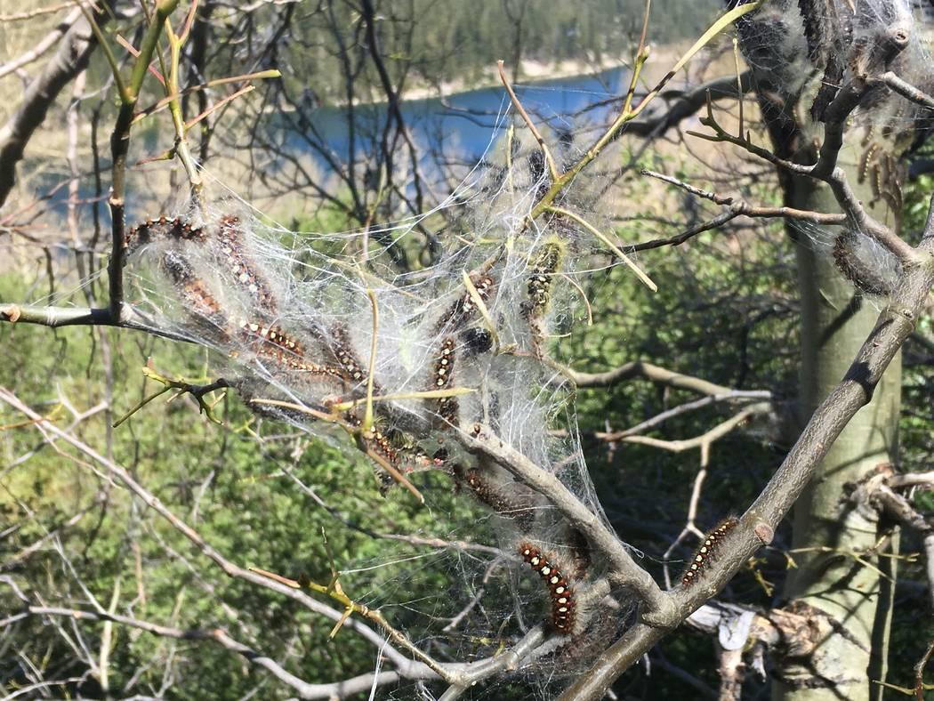 Las orugas blancas de la polilla del satén se aventuran fuera de su tienda de telar en un árbol en Lake Tahoe Nevada State Park el jueves. (Gene Phillips Nevada Division of Forestry)