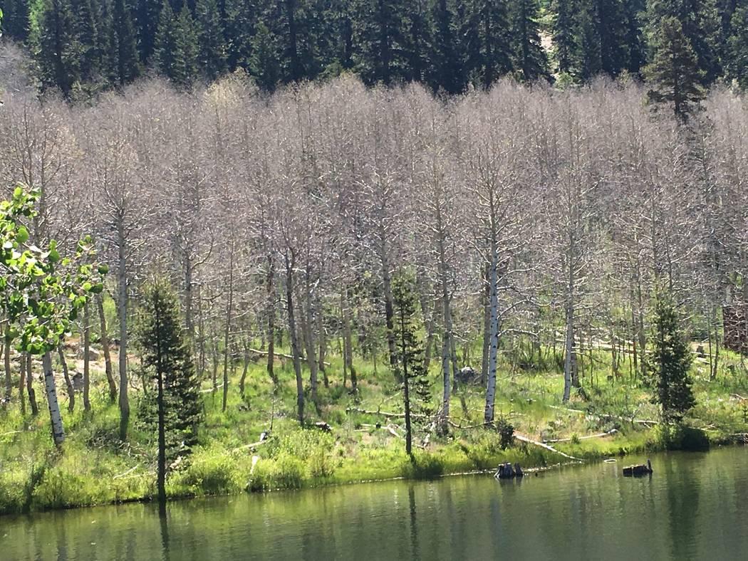 Los árboles de Aspen despojados de sus hojas por las hambrientas orugas de la polilla de satén blanco, se paran cerca del agua el jueves en el Parque Estatal Lake Tahoe Nevada. (Gene Phillips Ne ...