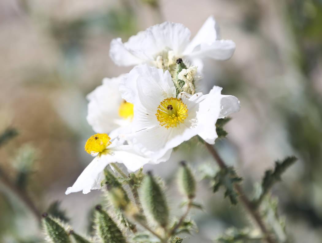 Las flores florecen en los cardos en un área afectada por el incendio de Carpenter 1 en el Área Recreativa Nacional de Spring Mountains el viernes 6 de julio de 2018. Chase Stevens Las Vegas Rev ...