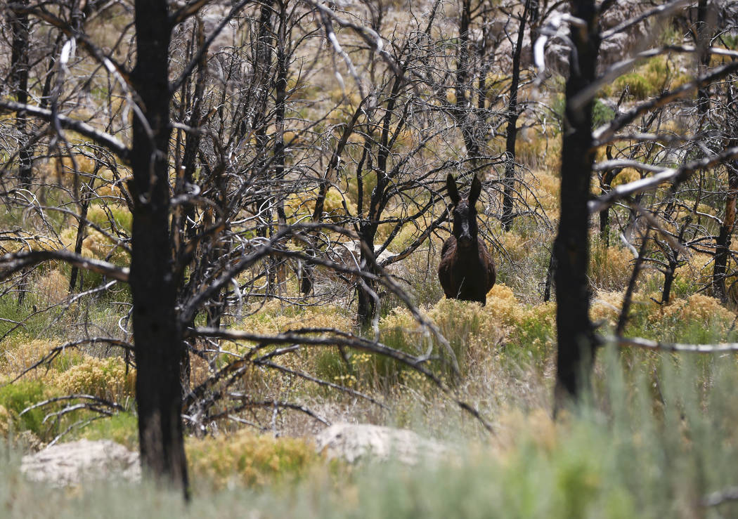 Un burro vagabundea por el área que fue afectada por el incendio de Carpenter 1 en el Área de Recreación Nacional de Spring Mountains el viernes 6 de julio de 2018. Chase Stevens Las Vegas Revi ...