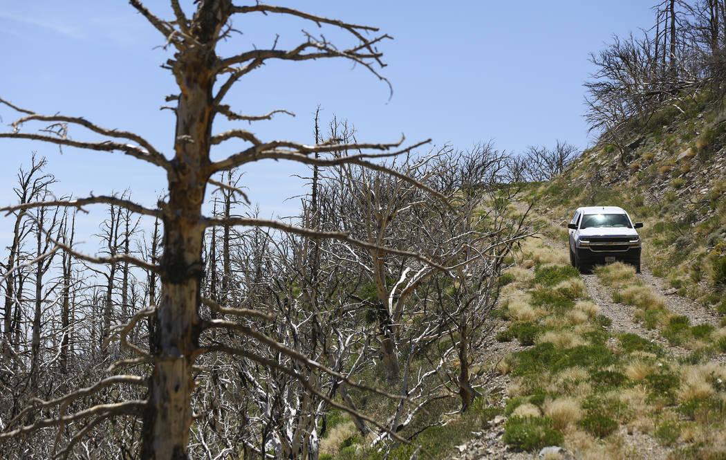 Un Servicio Forestal de EE.UU. se mueve a través de la tierra que fue afectada por el incendio de Carpenter 1 en el Área Nacional de Recreación de Spring Mountains el viernes 6 de julio de 2018 ...