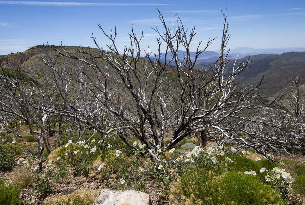 Las plantas crecen en un área afectada por el incendio de Carpenter 1 en el Área Recreativa Nacional de Spring Mountains el viernes 6 de julio de 2018. Chase Stevens Las Vegas Review-Journal @cs ...