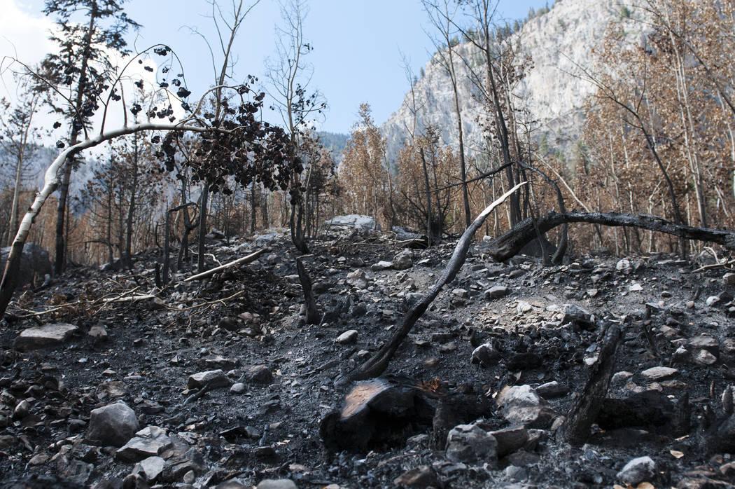 Se muestra daño de fuego en el suelo y en los árboles del incendio de Carpenter 1 en Cathedral Rock, el miércoles 24 de julio de 2013 en el monte. Charleston en Las Vegas, Nev. (Erik Verduzco / ...