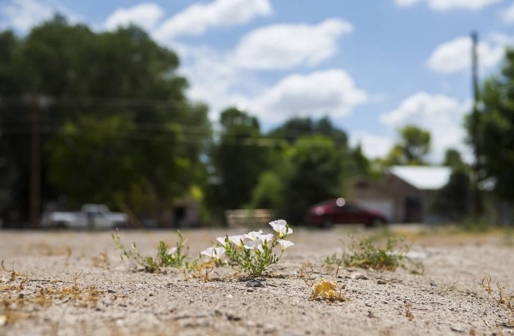 Las flores crecen en el terreno baldío a raíz del mortal atentado de 2016 en Panaca el jueves 12 de julio de 2018. Chase Stevens Las Vegas Review-Journal @csstevensphoto