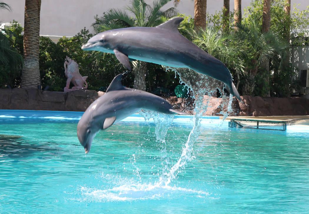 La cría de delfín, Coco y su madre, Huf N Puf, en Siegfried y Roy's Secret Garden y Dolphin Habitat de The Mirage el 11 de julio de 2018 en Las Vegas. (Rochelle Richards / Las Vegas Review-Journ ...