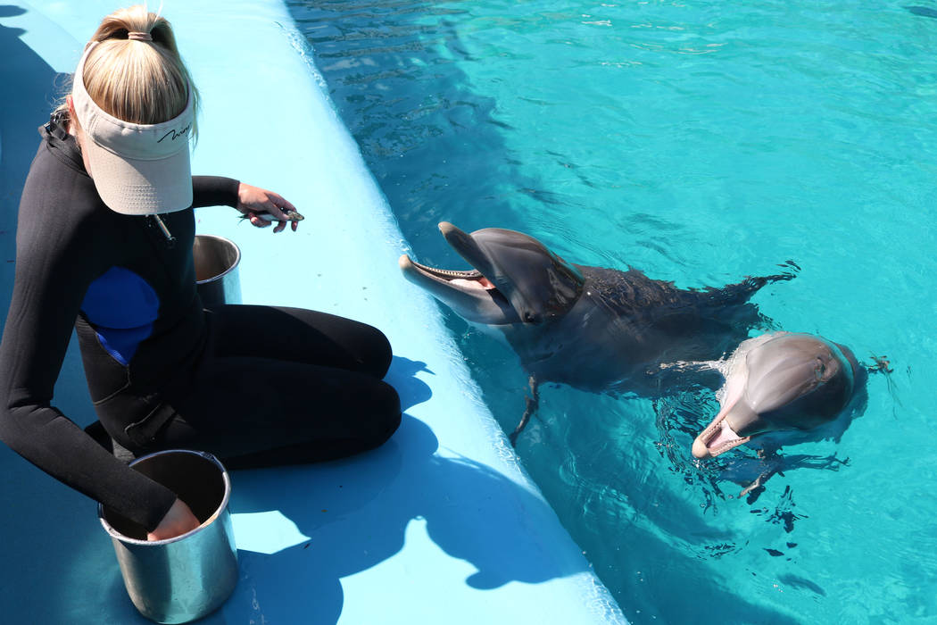 La especialista en cuidados de delfines, Lacey Russell, alimenta a los delfines, Coco y su madre, Huf N Puf, en Siegfried y Roy's Secret Garden de Mirage y Dolphin Habitat el 11 de julio de 2018 e ...