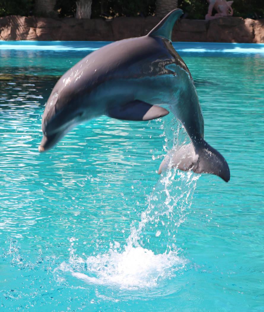 La cría de delfín, Coco, en Siegfried de Mirage, Roy's Secret Garden y Dolphin Habitat el 11 de julio de 2018 en Las Vegas. (Rochelle Richards / Las Vegas Review-Journal) @ RoRichards24