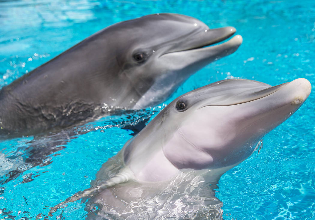 Coco, una delfín nariz de botella de un año, celebró su primer cumpleaños el martes 17 de julio de 2018 en Siegfried & Roy's Secret Garden y Dolphin Habitat, en el hotel-casino Mirage de Las V ...