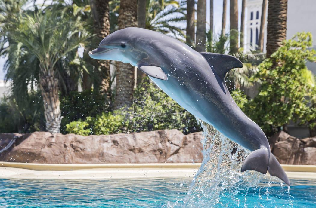 Coco, una delfín nariz de botella de un año, salta en el aire mientras trabaja con su especialista en cuidado de delfines en Siegfried & Roy's Secret Garden y Dolphin Habitat el martes 17 de jul ...