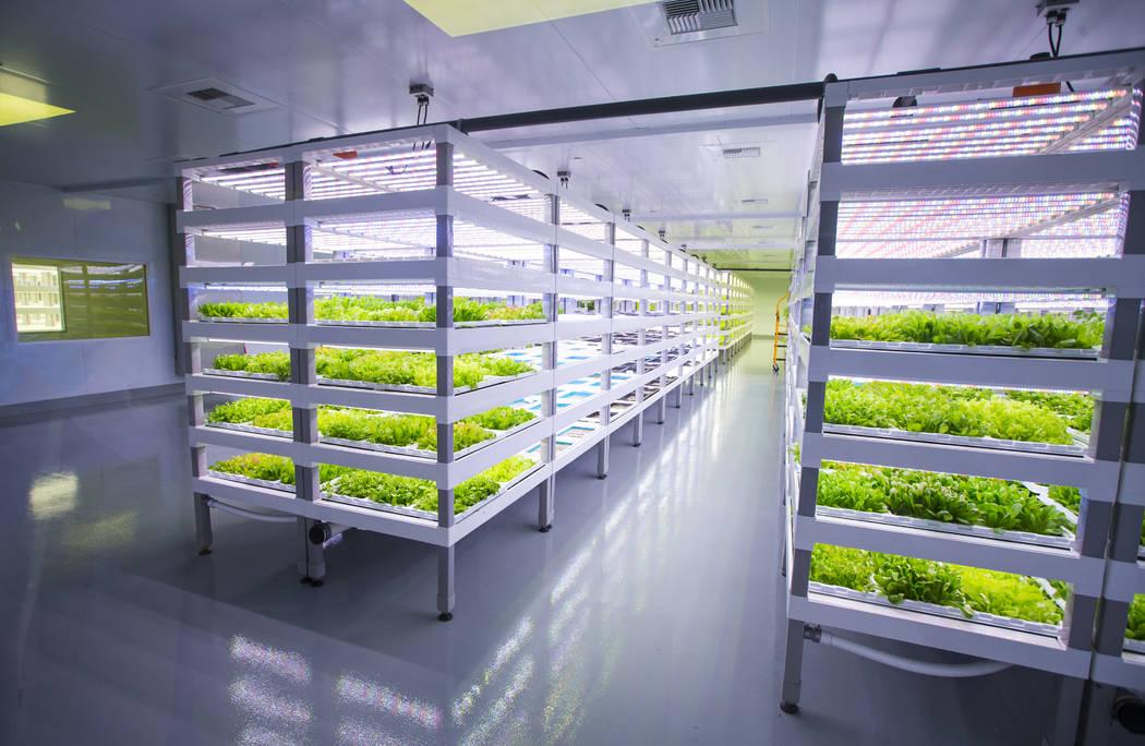 Una variedad de productos Evercress crece en Oasis Biotech, una empresa agrícola de interior, en Las Vegas el miércoles 18 de julio de 2018. Chase Stevens Las Vegas Review-Journal @csstevensphoto