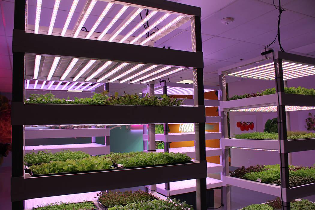 Las luces que utilizan son LED para ahorrar energía y mejorar su proceso. Sábado 21 de julio dl 2018. Oasis Biotech. Foto Cristian De la Rosa / El Tiempo - Contribuidor.