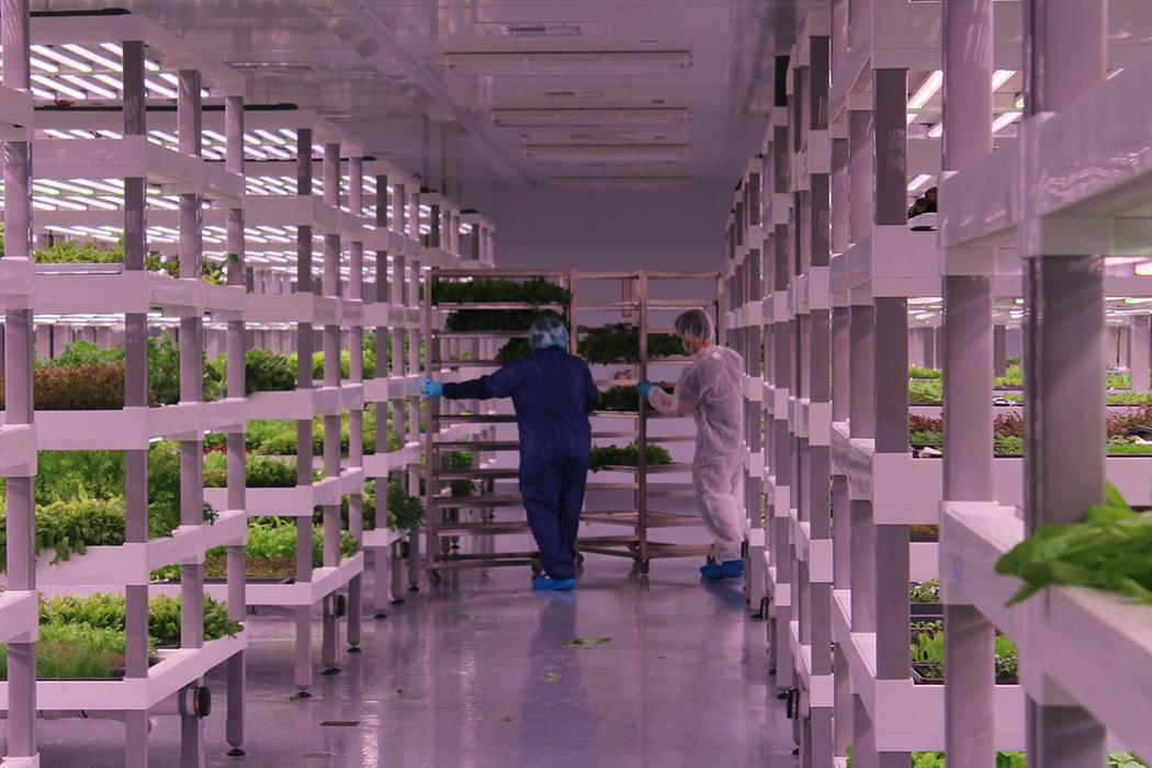 En esta granja no utilizan pesticidas ni fertilizantes. Sábado 21 de julio de 2018. Oasis Biotech. Foto Cristian De la Rosa / El Tiempo - Contribuidor.