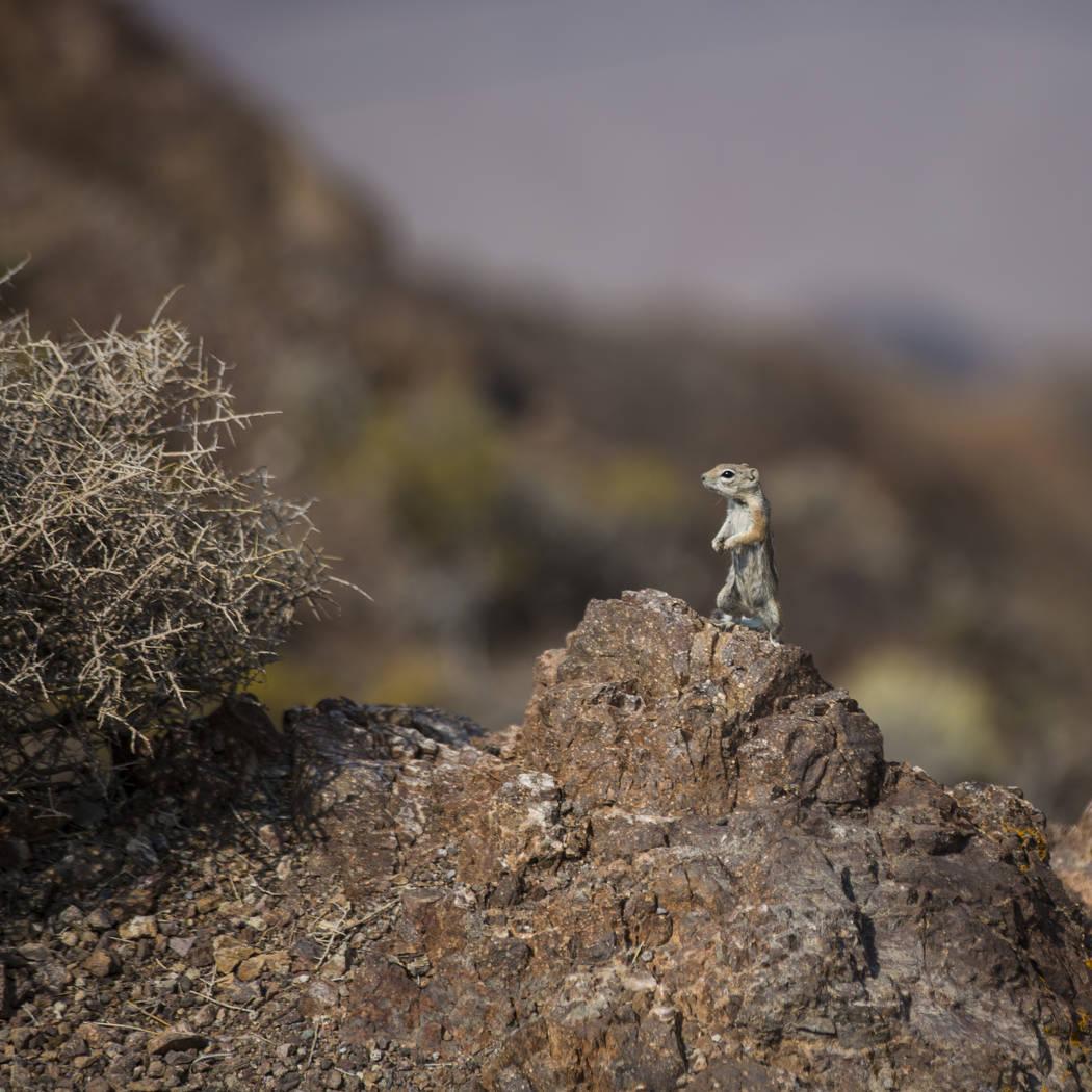 Una ardilla observa a los visitantes en Dante's View en el Parque Nacional Death Valley, California, el martes 7 de agosto de 2018. Chase Stevens Las Vegas Review-Journal @csstevensphoto
