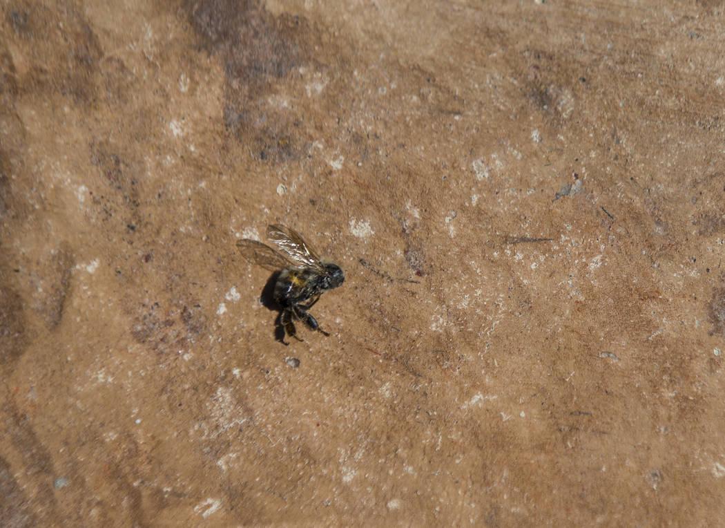 Una abeja muerta cerca de la piscina en la casa de Brandon Hulet en Henderson el jueves 23 de agosto de 2018. El hijo de Hulet ha sido picado varias veces por las abejas en el patio trasero de la ...