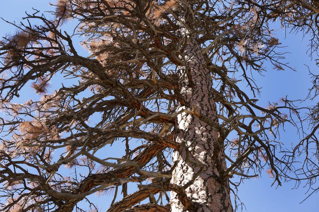 Agujas marrones y ramas secas cuelgan de un árbol moribundo en Old Town en Mount Charleston, donde algunos residentes sostienen que los árboles están siendo envenenados por la sal utilizada por ...