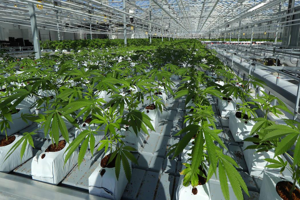 En esta foto del 25 de septiembre de 2018, se muestra que las plantas de marihuana crecen en un enorme invernadero de tomates que se está renovando para cultivar una maceta en Delta, British Colu ...