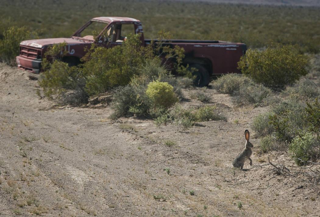 Una liebre se encuentra cerca de un vehículo objetivo en el Nevada Test and Training Range el domingo 21 de mayo de 2017. Patrick Connolly Las Vegas Review-Journal @PConnPie
