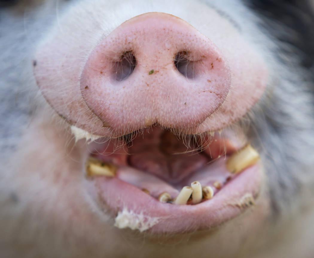 Los cerdos son algunos de los animales rescatados por Barn Buddies Rescue, una organización sin fines de lucro dedicada al rescate de animales de granja maltratados, abandonados o heridos, en The ...