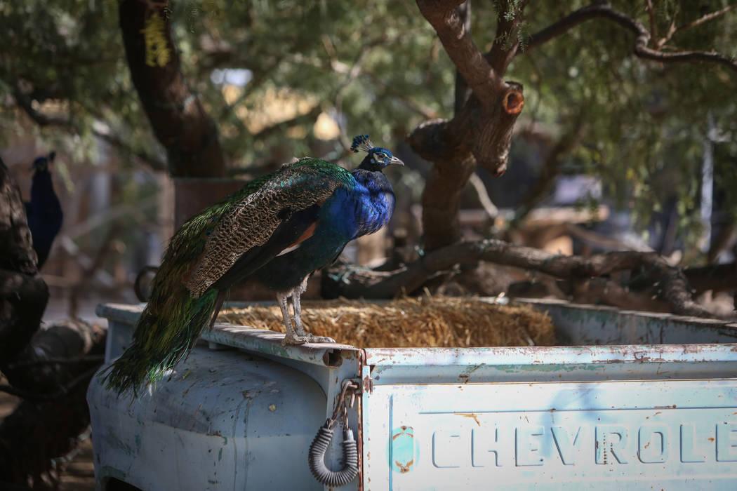 Un pavo real se para en una vieja camioneta Chevrolet en The Farm en Las Vegas, el domingo 25 de noviembre de 2018. Caroline Brehman / Las Vegas Review-Journal