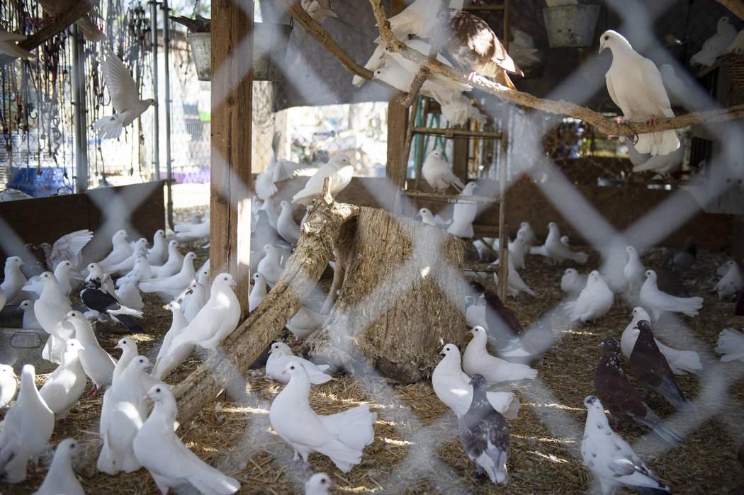 Las palomas son algunos de los animales rescatados por Barn Buddies Rescue, una organización sin fines de lucro dedicada al rescate de animales de granja maltratados, abandonados o heridos, en Th ...