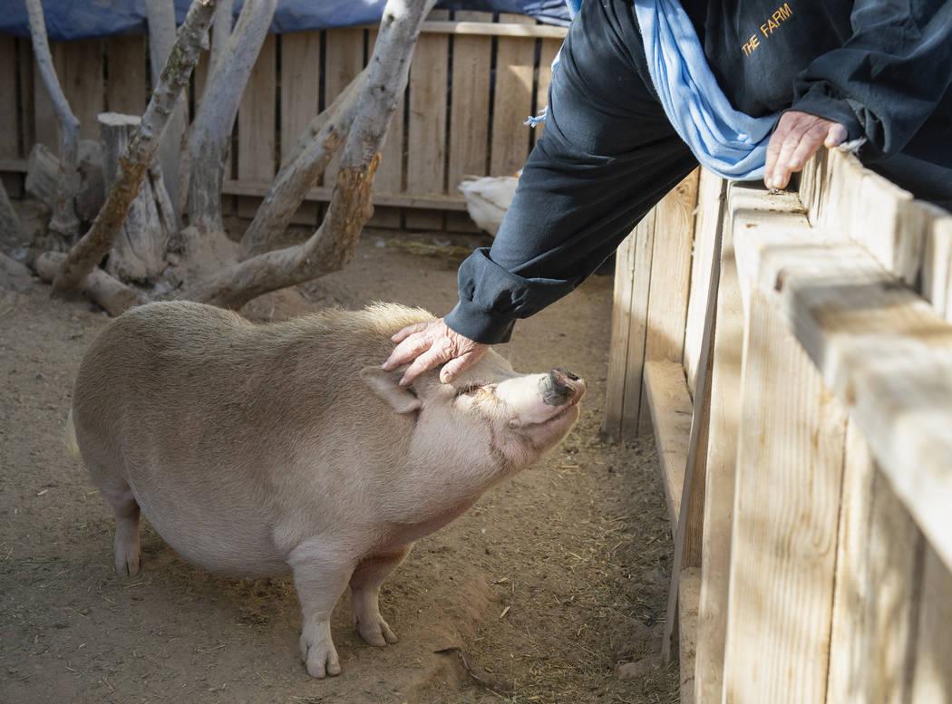 Sharon Linsenbardt, propietaria de Barn Buddies Rescue, se lleva una de las cerdas de The Farm en Las Vegas, el domingo 25 de noviembre de 2018. Caroline Brehman / Las Vegas Review-Journal