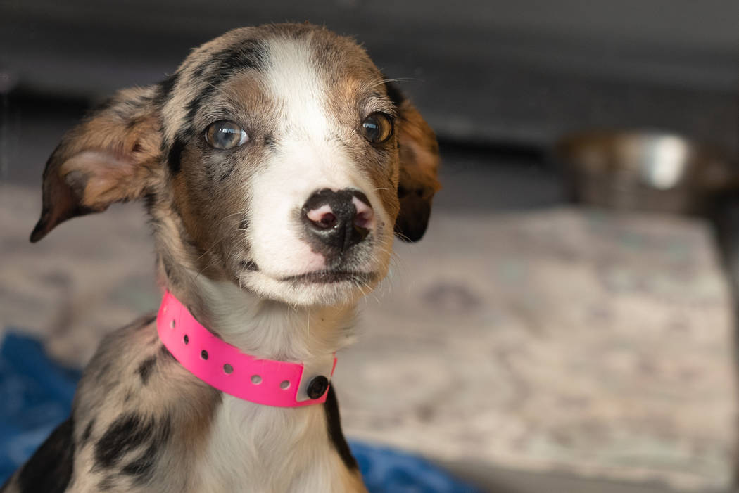 Un cachorro de Catahoula rescatado de una casa en Moapa Valley en The Animal Foundation. The Animal Foundation