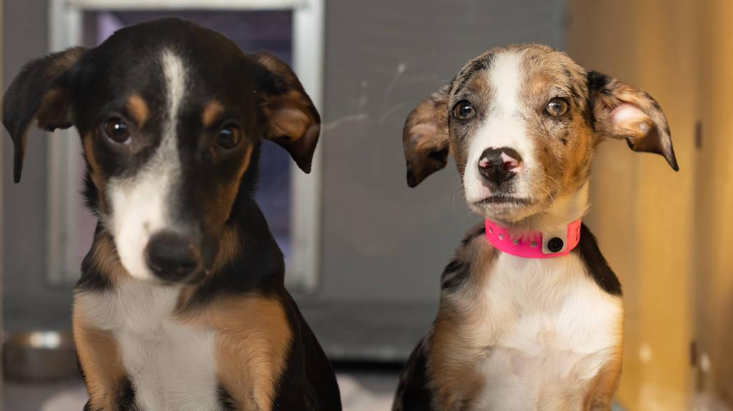 Cachorros catahoula en The Animal Foundation.