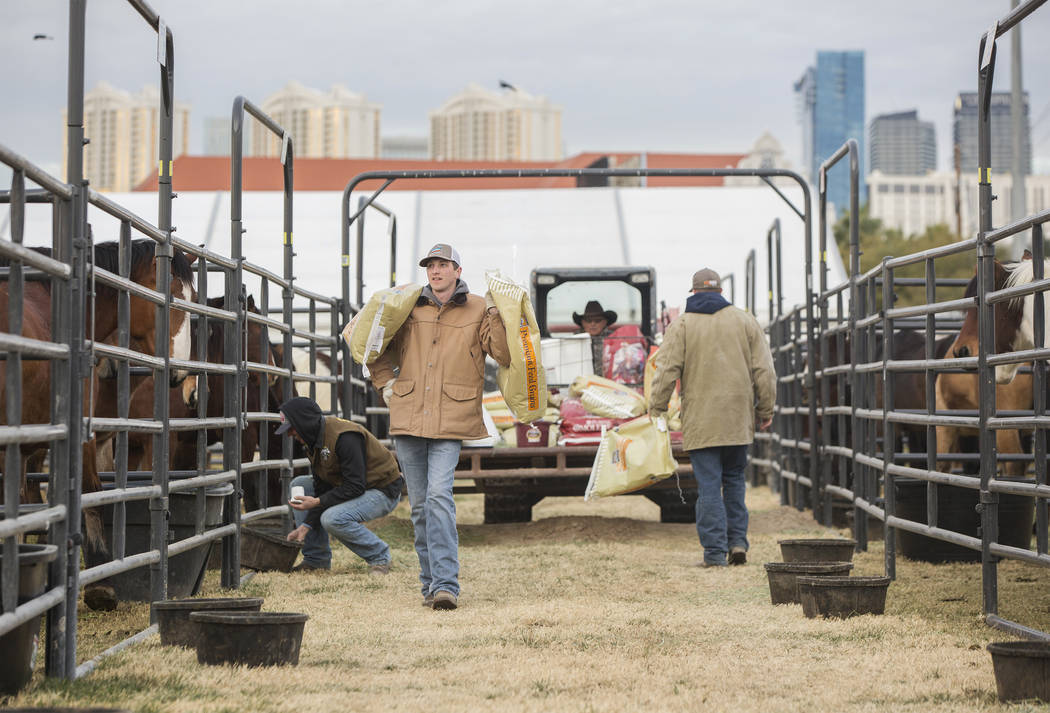 Tyler Jackson, a la izquierda, del equipo de ganado de Salem, Arkansas, alimenta a los caballos el martes 4 de diciembre de 2018, en el campo intramural de la UNLV, en Las Vegas. Benjamin Hager La ...