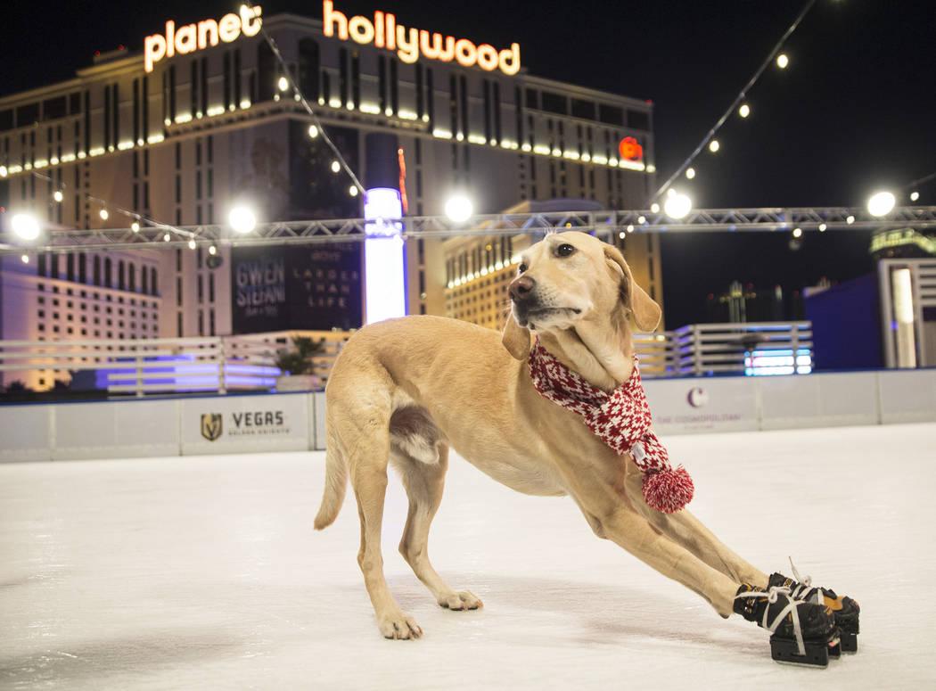 Benny, a Labrador Retriever mix, ice skates at The Cosmopolitan of Las Vegas on Wednesday, Dec. 12, 2018, in Las Vegas. Benjamin Hager Las Vegas Review-Journal