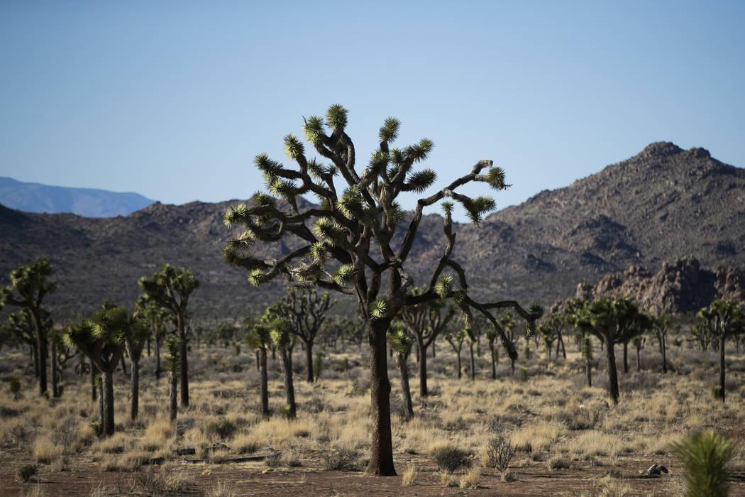 Los árboles de Joshua están parados cerca de la carretera en el Parque Nacional Joshua Tree en el desierto de Mojave en el sur de California, el jueves 10 de enero de 2019. Después de todo, el ...
