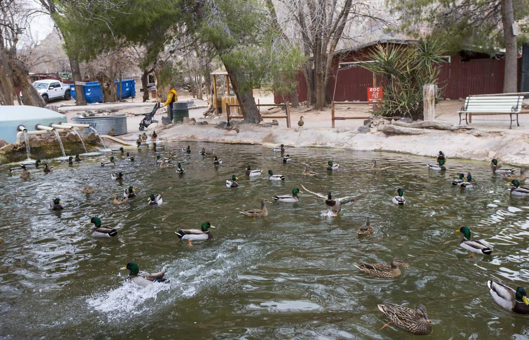 Los patos se relajan en un estanque en Bonnie Springs Ranch, en las afueras de Las Vegas, el sábado 12 de enero de 2019. La Comisión de Planificación del Condado de Clark el miércoles 20 de fe ...