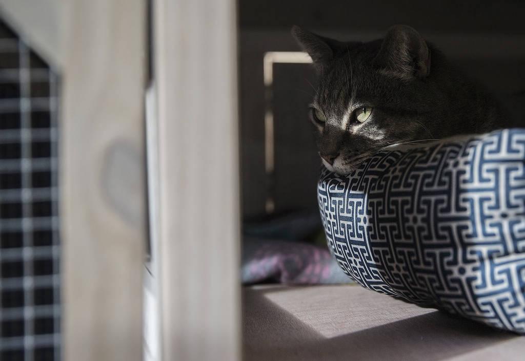 """Koukla, una gata atigrada gris adoptada por la iglesia ortodoxa griega de San Juan Bautista a través del programa """"Working Cat"""" de la Fundación Animal, el lunes 18 de febrero de 2019, en Las Veg ..."""