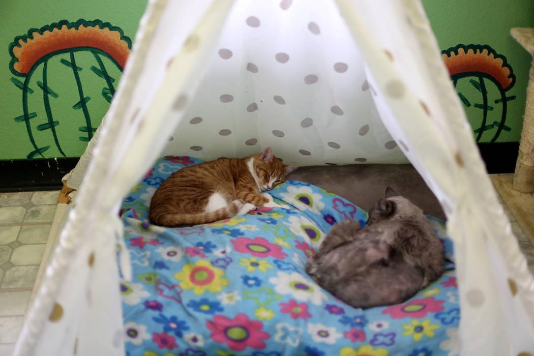 """Gatos duermen en el área """"Cat Condo"""" de la Sociedad de Nevada para la Prevención de la Crueld ..."""