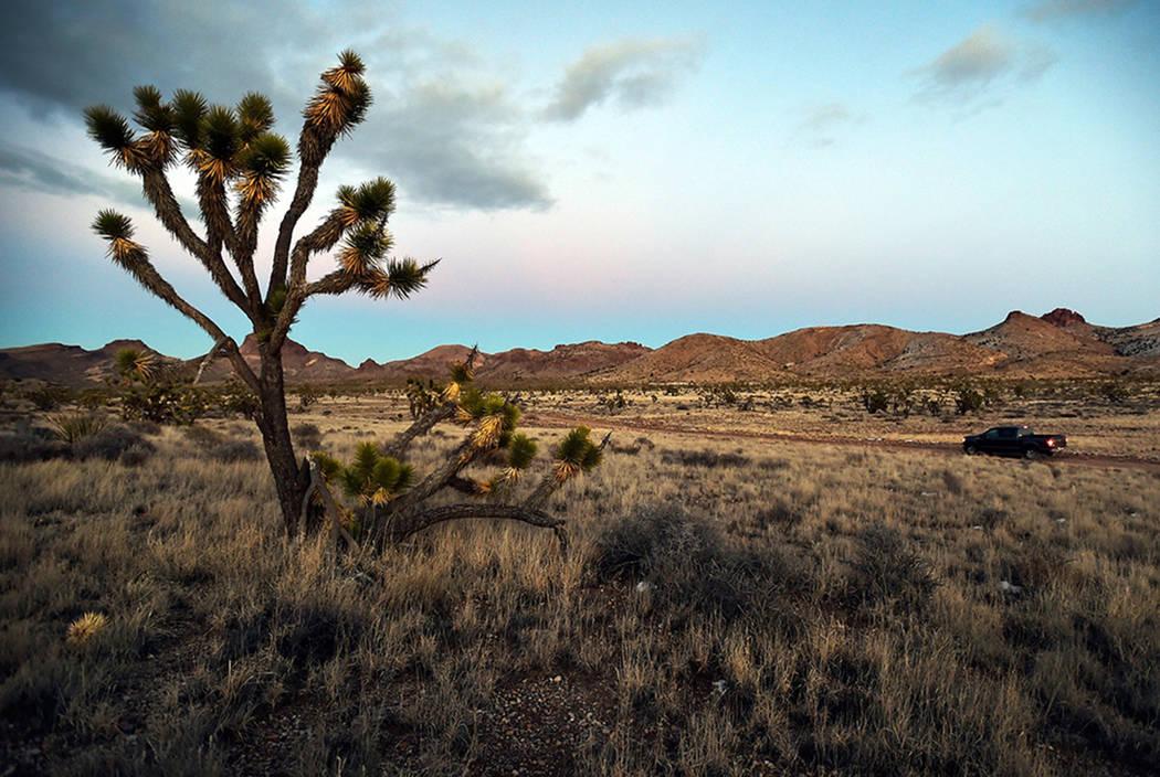 Árboles de Joshua en el Monumento Nacional Castle Mountains en el este de California el 1 de f ...