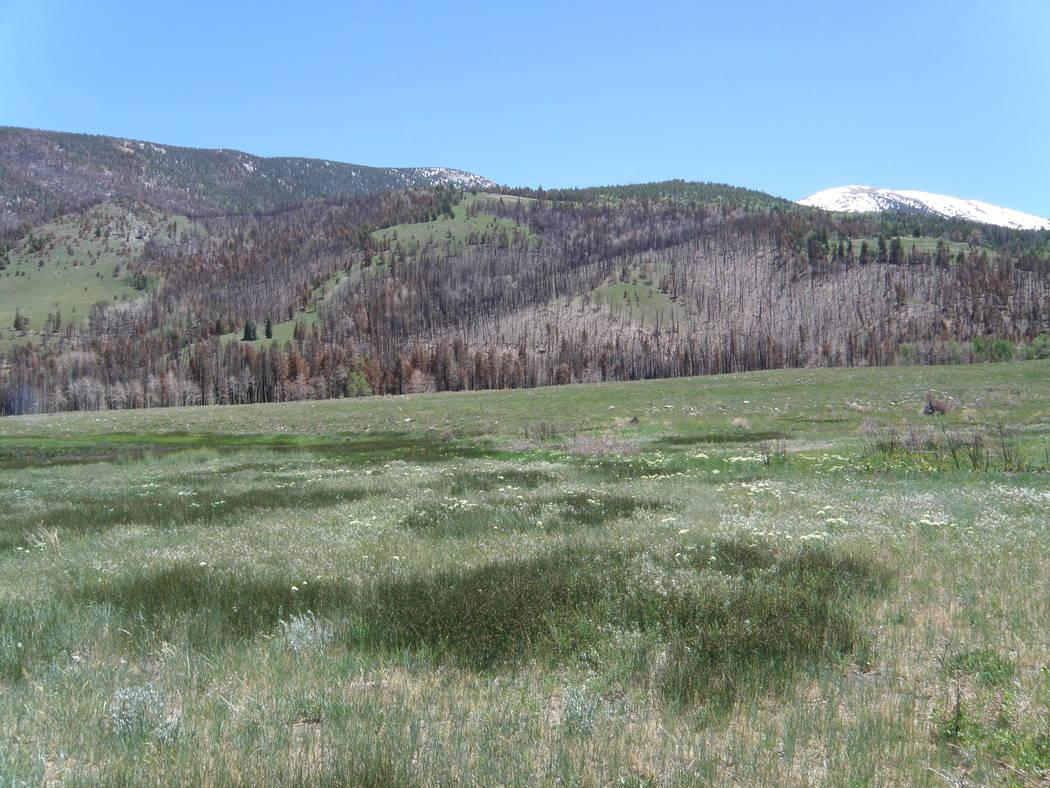 Una pradera crece cerca de Strawberry Creek en junio de 2017, menos de un año después de que ...