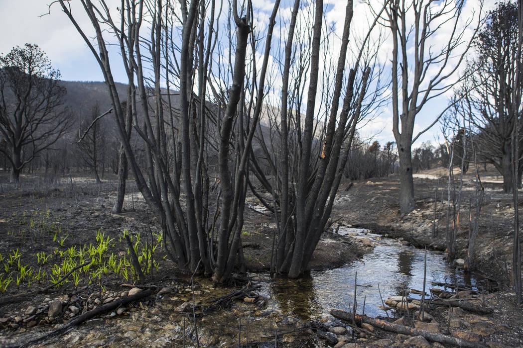 Hierba crece al lado de Strawberry Creek en un área dañada por el incendio de Strawberry en e ...