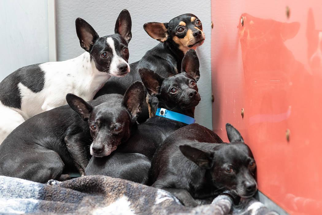 Estos son algunos de los Chihuahuas que están recibiendo evaluaciones médicas y de comportami ...