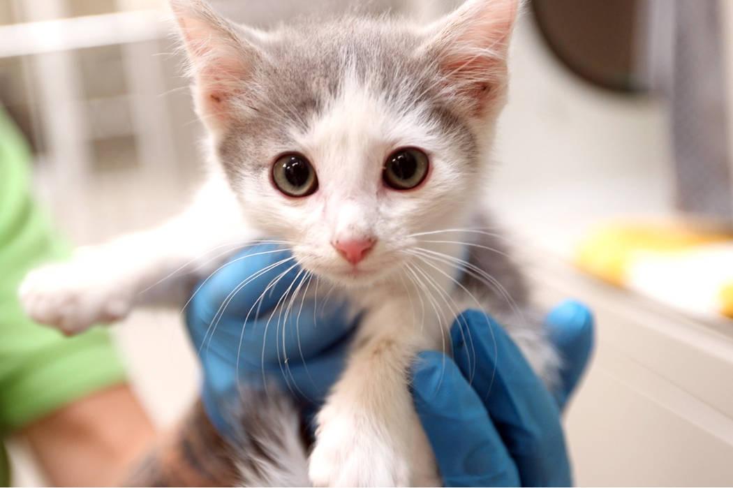 La Fundación de Animales de Las Vegas recibió la mayor cantidad de perros y gatos desde 2014. ...