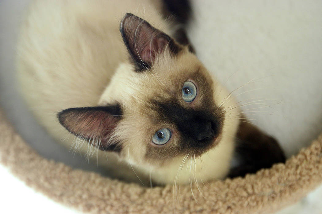 Las Vegas dio la bienvenida a Rescued Treasures, actualmente el único café para gatos en Neva ...